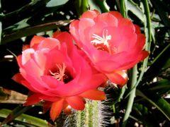 Echinopsis  huascha