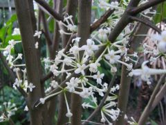 Native daphne Phaleria clerodendron