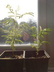 mimosa tenuiflora sapling