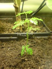Mimosa tenuiflora At 13 weeks