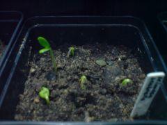 Mimosa scabrella Nov 2014 2nd attempt