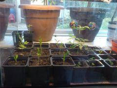 baby Acacias And Azadirachta