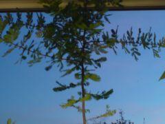 Acacia bailyana purpurea