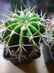 Trichocereus validusxEchinopsis3