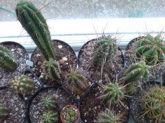 Trichocereus cuzco crew