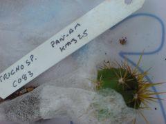 Trichocereus sp' C083 Pan-am KM325 from ebay postage pirate