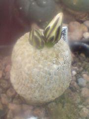 Pelecyphora pseudopectinata / turbinicarpus flower progression