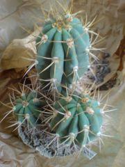 Trichocereus terscheckii - uhlig