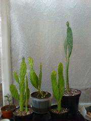 indoor opuntias bursting into life