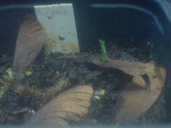 Banisteriopsis muricata straggler