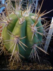 new species from first decent uk cactus nursery that i found + french pach