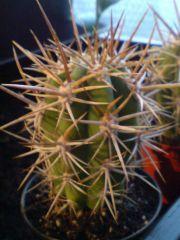 Trichocereus sp' La Paloma Chile