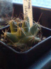 Coryphantha macromeris Banon zac