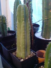 Trichocereus pachanoi that came from france the same day