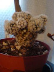 Mammillaria gracilis f' AZ snowcap