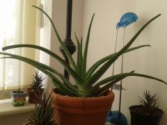 Aloe barbadensis And Haworthia attenuata