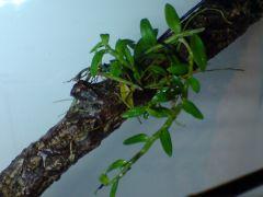Dendrobium loddigesii , now in the rainforest box