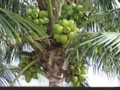 coconut tree 1