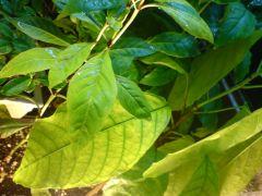 Psychotria nervosa and Theobroma cacao