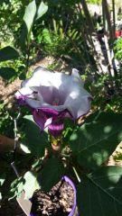 datura metel double bloom
