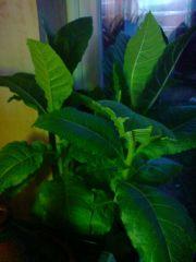 Nicotiana tabacum juvenile