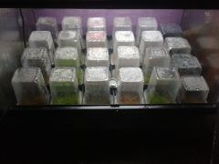 2016 03 23 00.28.23 twentyfour virola surinamensis sown In olde toad Virolarium pots