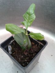 Psychotria viridis leaf cutting number three  - 1 year and 1 week to sprout