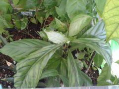 Psychotria viridis 2015 04 23
