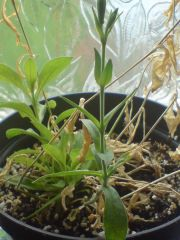 Silene capensis coming back to health