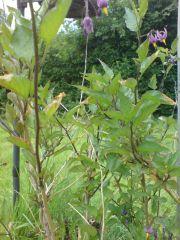 Solanum dulcamera in flower
