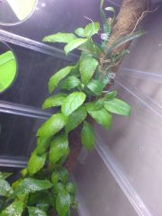 Salvia divinorum and orchid pole