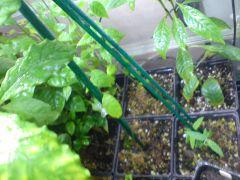 Banisteriopsis caapi tunkunaka