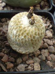 Pelecyphora pseudopectinata