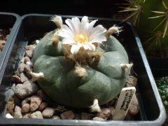 Lophophora williamsii flowering again : ]