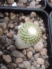 Pelecyphora strobiliformis