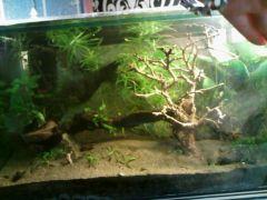 Ehretia microphylla recycled bonsai