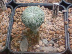 Pelecyphora aselliformis