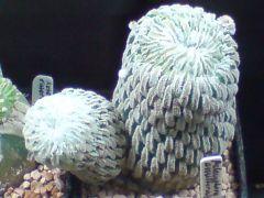 Pelecyphora and Aztekium
