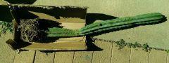 Trichocereus (pachanoi?)