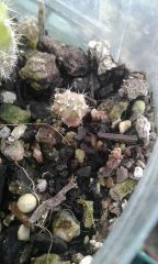 dichot/cresting spachianus seedling