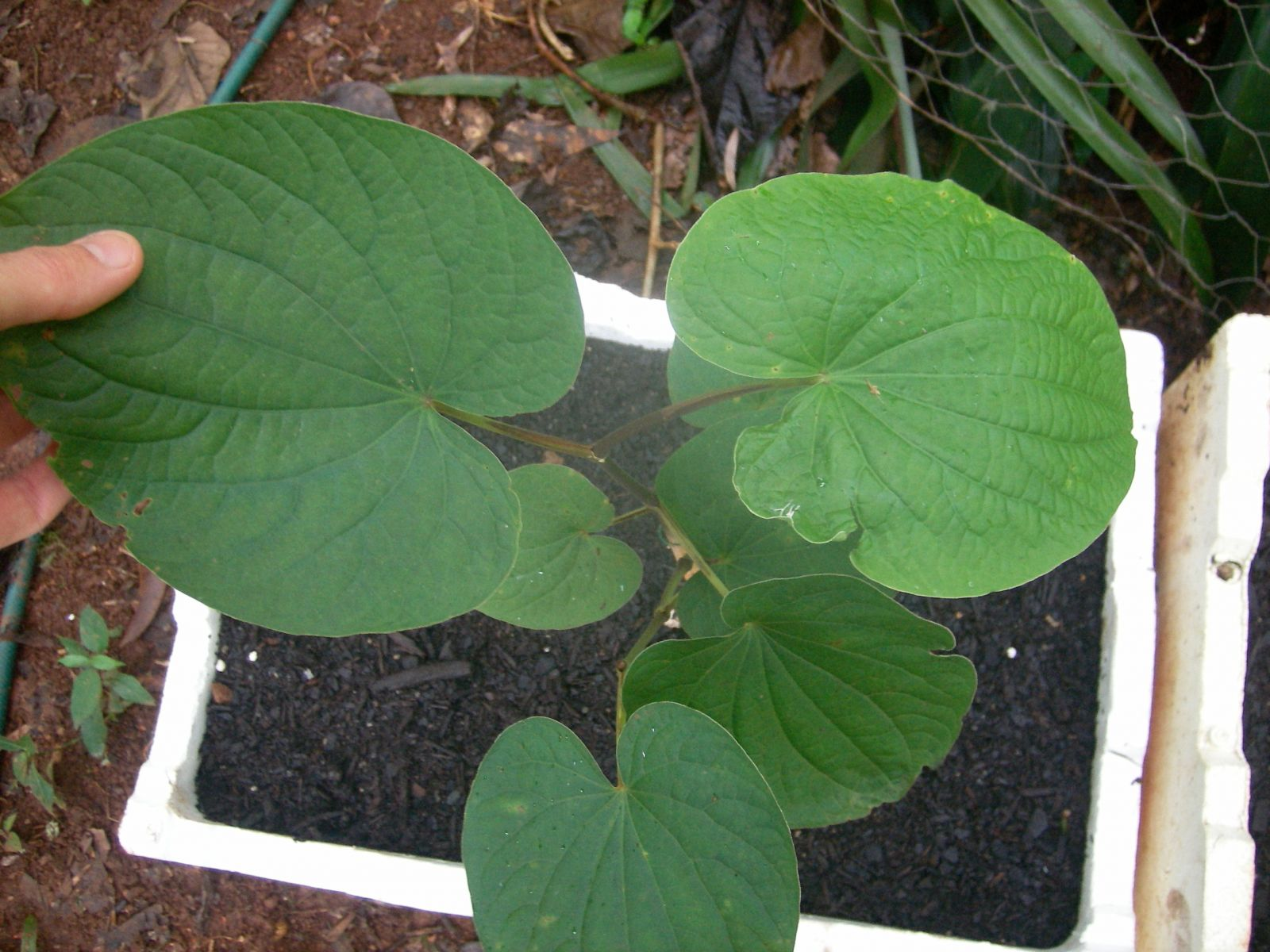 P.methysticum (4)