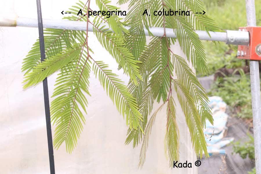 kadas.garden.Anadenanthera