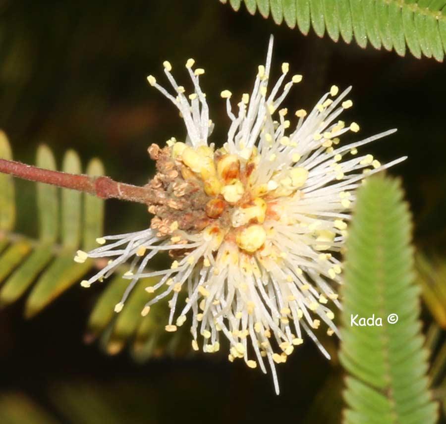 kadas.garden.Anadenanthera6