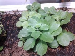 Withania somnifera in coir ebb and flow