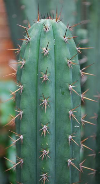 Medicine Garden Red Spine