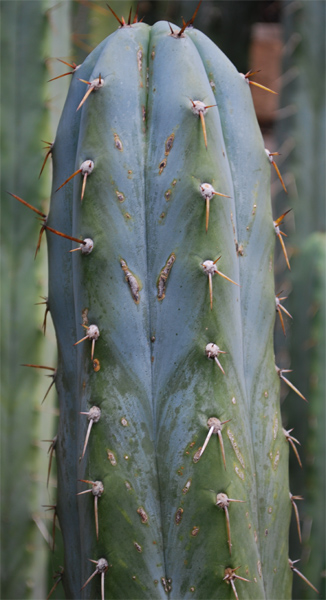 seed grown pedro flat spines