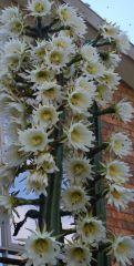 pedro flowers 1415