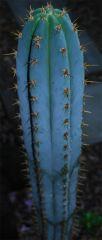 Seed pedro 2