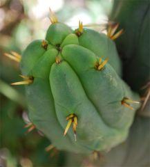 Seed Grown bridgesii by Ferret