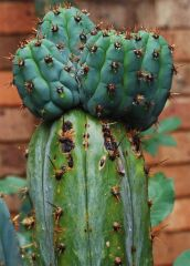 seed 'pachanoi'